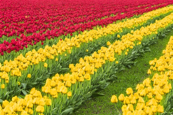Holland Tulip Festival 2018